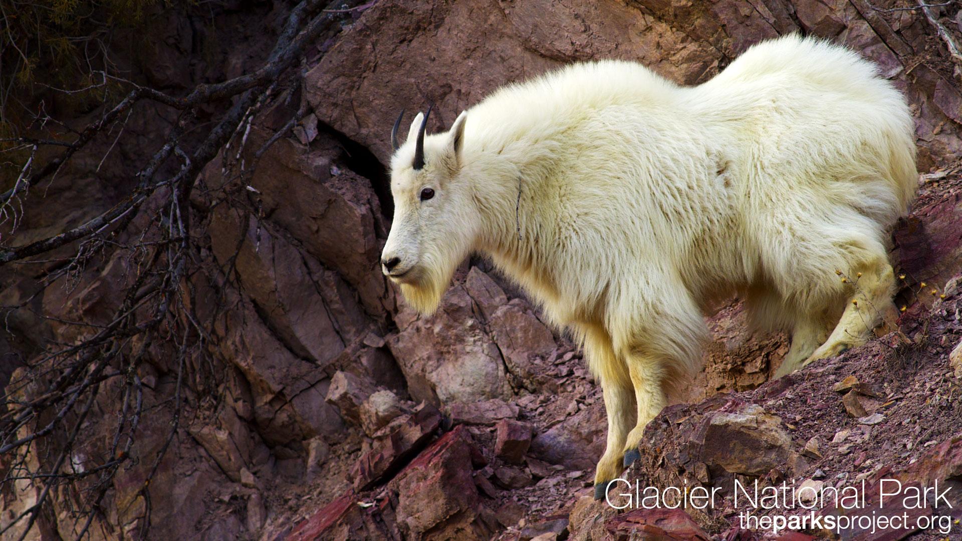 pics photos goats wallpaper