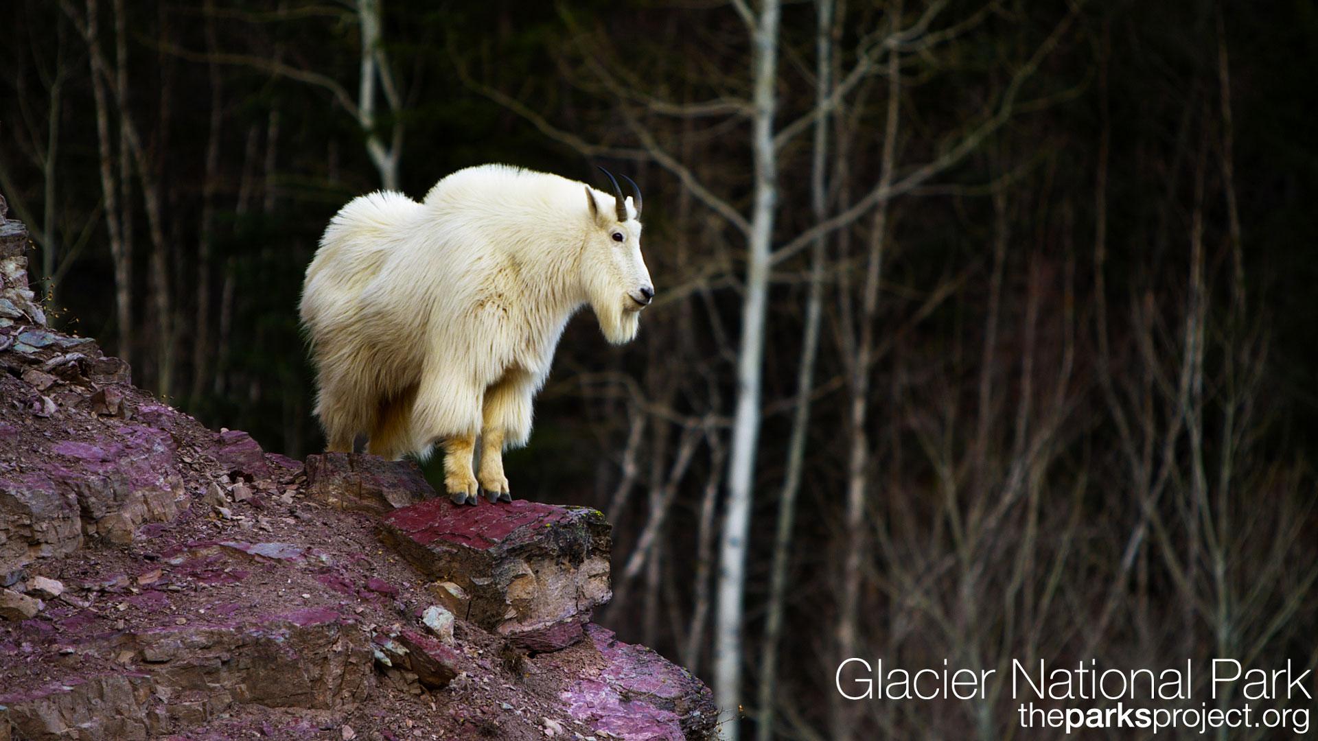 glacier park goat wallpaper 118309
