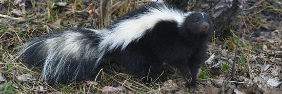 Glacier Wildlife - Skunk