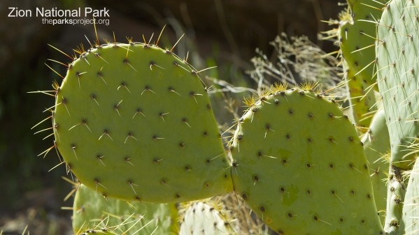 Cactus in Zion National Park - The Parks Project